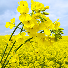 gm-food-need-to-knows-canola-blog