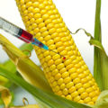 Are GMO's Really That Harmful?